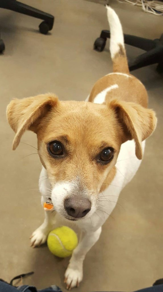 Daytona is a 3 year old Jack Russel mix that tested positive for Heartworms. She is currently being treated and has found her forever home!