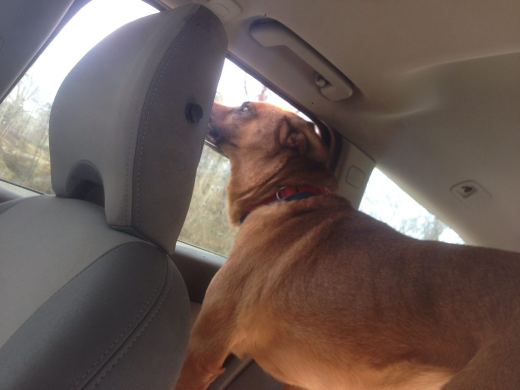 Tahoe on the way to the vet for his heartworm treatment.